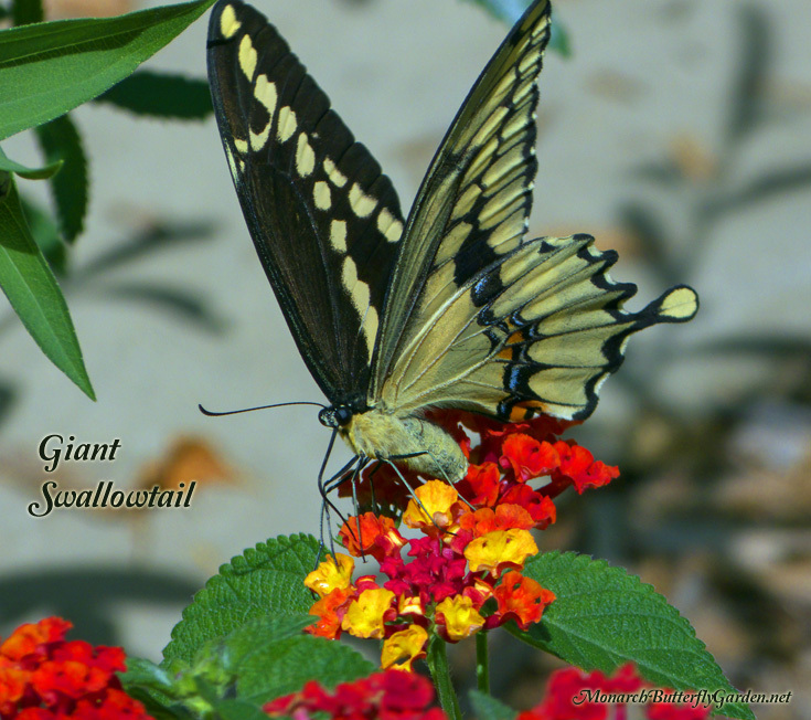 Giant Swallowtails are expanding their territory north into the northern US and even Canada
