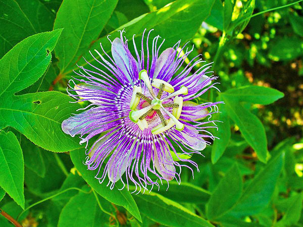Passiflora incarnata 'maypop' is the hardiest of passion flowers