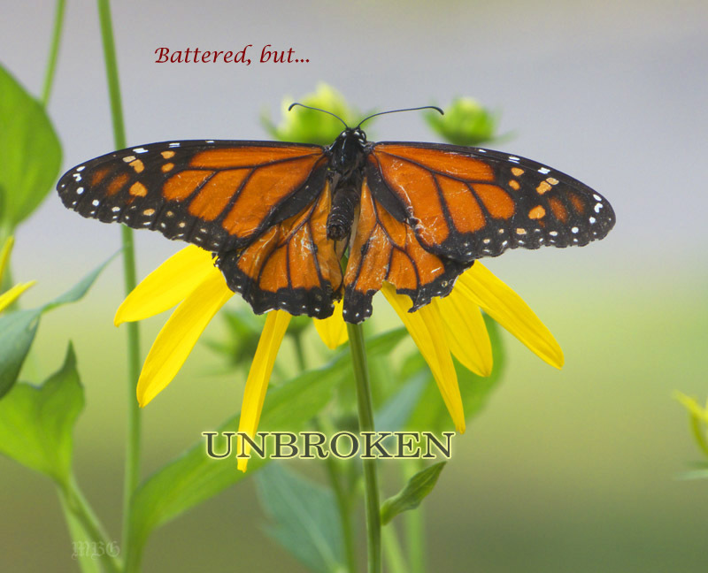Inspirational Photo Battered Monarch Butterfly