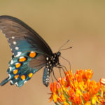 Butterfly Weed (Asclepias tuberosa) attracts a variety of nectar loving butterflies