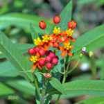 Tropical Milkweed for monarch caterpillars