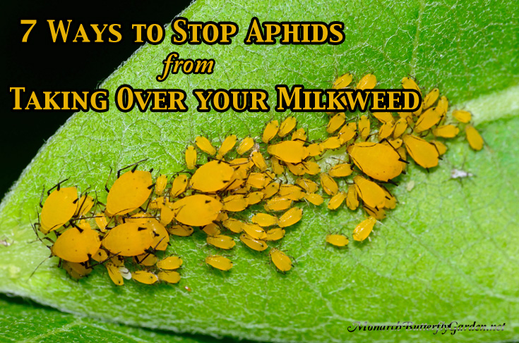 7 Ways to Stop Aphids from taking over your Milkweed Plants