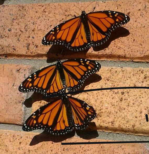 Male Monarch Bonding in Auckland NZ