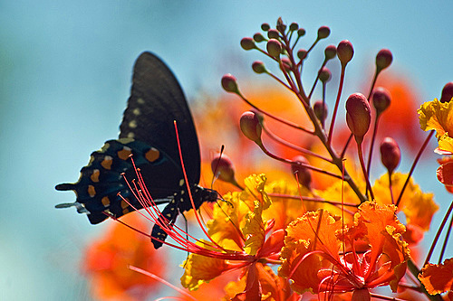 Pipevine Swallowtail on Azalea Flower
