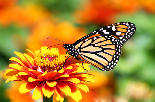 A Monarch Female on Zowie Yellow Flame Zinnia Flowers