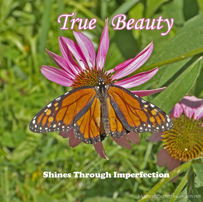 Inspirational Quote About True Beauty Featuring a Wrinkled Monarch Butterfly