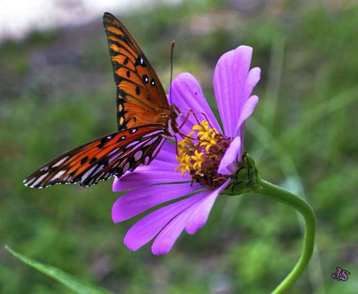 Butterfly garden picture with gulf fritillary on zinnia