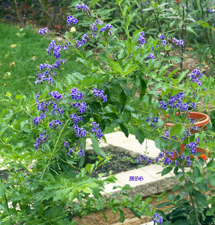 Duranta erecta is a tropical butterfly plant that can be overwintered in cold climates