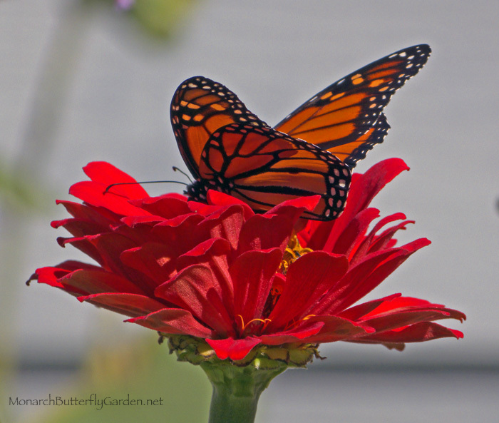 Male Monarch Finds Fall Nectar from a Zinnia in the Butterfly Garden