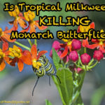 Is Tropical Milkweed Killing Monarch Butterflies?