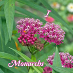 I Love Monarchs...from the Bottom of my Milkweed!